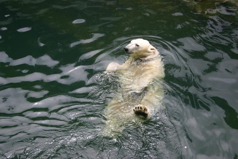 배영하는 북극곰